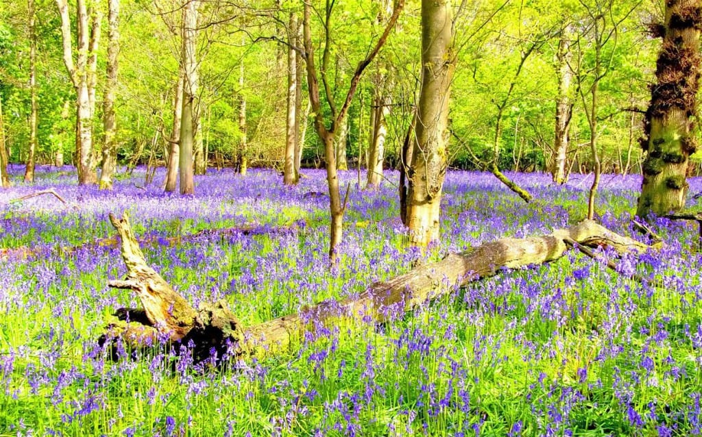 Bluebells - Colin Williams